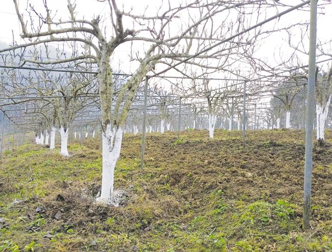 Vườn lê quý dùng để nghiên cứu, nhân giống theo công nghệ nuôi cấy mô tại trại của anh Thạch.