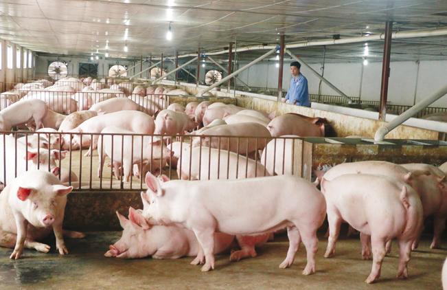 Biện pháp chống dịch tả lợn châu Phi ở các nước thường áp dụng là tăng cường các biện pháp an toàn sinh học tại trang trại.