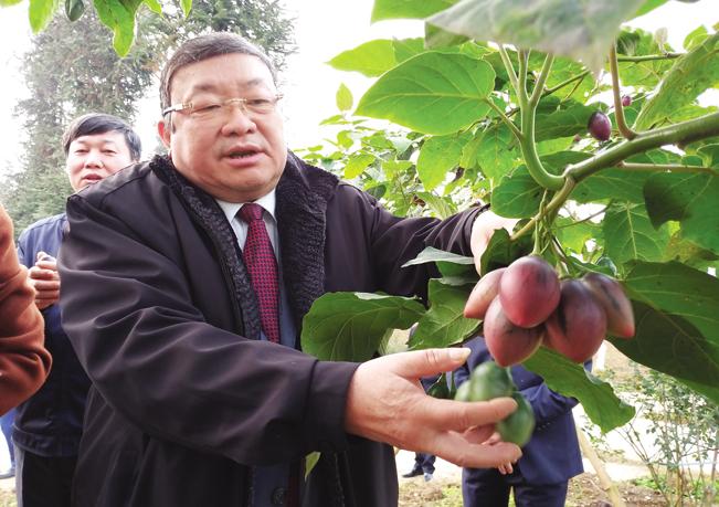 Đồng chí Thào Xuân Sùng - Ủy viên T.Ư Đảng, Bí thư Đảng đoàn, Chủ tịch BCH T.Ư Hội NDVN thích thú với sản phẩm cà chua thân gỗ độc đáo ở trại này trong chuyến công tác đến địa phương này vào đầu năm 2019 vừa qua.