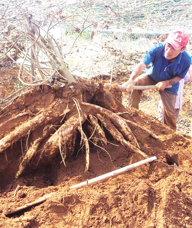 Cây sắn dây được trồng ở huyện Cam Lộ cho thu nhập cao. N.V