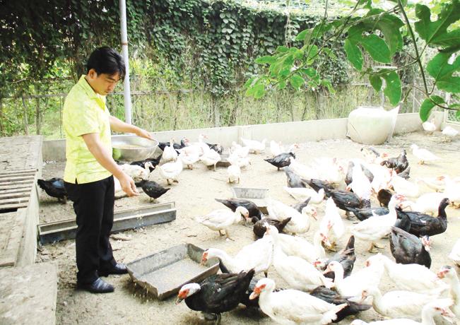 Ngoài nuôi gà, anh Quang còn nuôi thêm vịt xiêm, cá trê, mỗi năm anh đút túi hơn 200 triệu đồng.