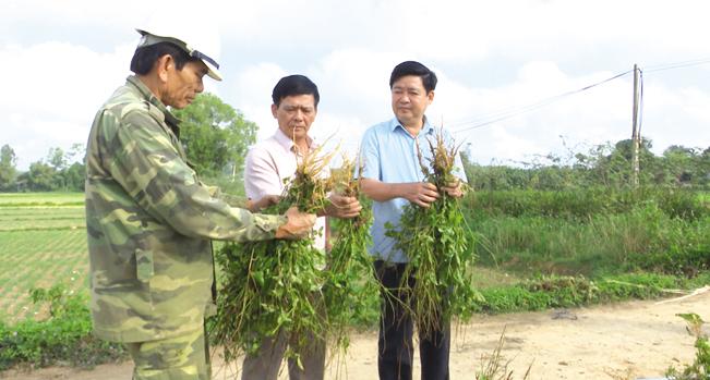 Lãnh đạo huyện Cam Lộ thăm nông dân thu hoạch cây ngưu tất cho hiệu quả cao. N.V