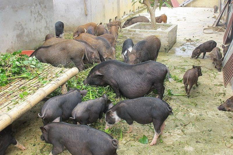 Chăn nuôi lợn bằng bèo tây (ảnh minh họa, nguồn ANTĐ)