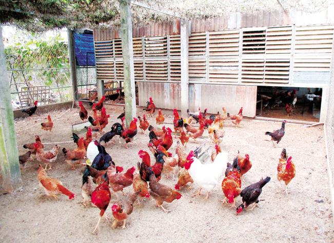 Trang trại chăn nuôi gà bằng nhà tầng của anh Văn Phú Quang (SN 1985) ở thôn Xuyên Đông 2, thị trấn Nam Phước, huyện Duy Xuyên, tỉnh Quảng Nam.