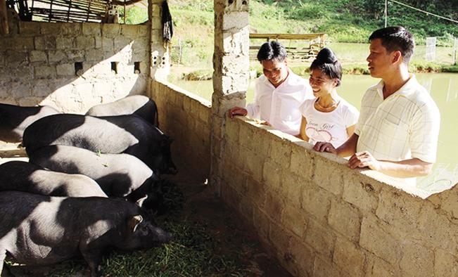 Từ nguồn vốn Quỹ HTND, các thành viên chi hội nghề nghiệp bản Tẩu Pung 1 đã chăn nuôi lợn bản địa hiệu quả. Lan Phương