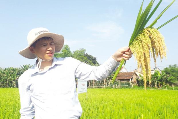 Nông dân xứ Quảng đại thắng với giống lúa VNR20