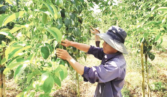 Nông dân liên kết trồng chanh leo an toàn. Tư liệu