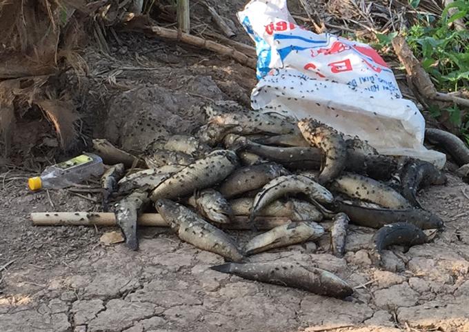 Cá lóc trên sông Cái Lớn bị chết hàng loạt.