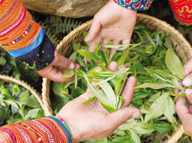 Trà Shan tuyết là loại trà có búp to màu trắng xám, dưới lá trà có phủ 1 lớp lông tơ mịn, trắng nên người dân gọi là trà tuyết.