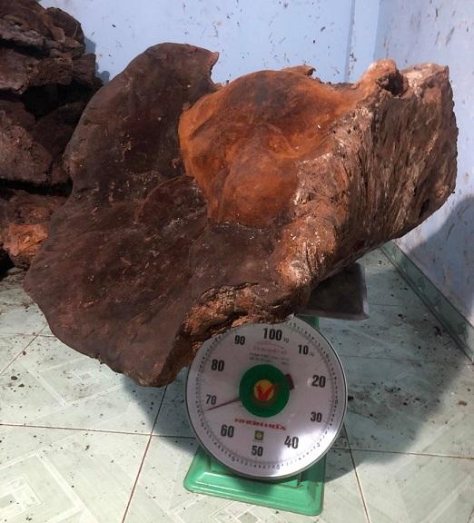 Cây nấm chò nặng khủng đến 70kg hiện do ông Lương Tấn Oanh đang sở hữu - Ảnh CTV