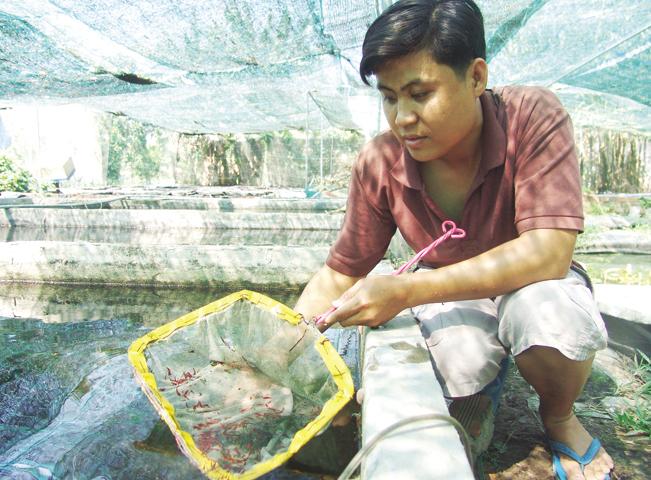 Anh Hoài Thanh đang kiểm tra đàn tép kiểng chuẩn bị xuất ra thị trường.