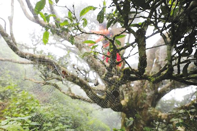 Chè cổ mọc xen lẫn trong rừng sâu, núi cao và xung quanh bản ở Tà Xùa. Phong Thu