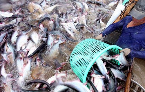 Thu hoạch cá tra ở huyện Hồng Ngự, tỉnh Đồng Tháp. Ảnh: KNVN