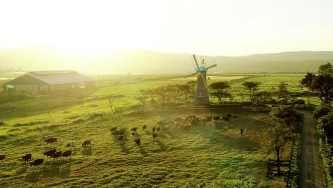 Với không khí ôn hòa, mát mẻ quanh năm, Đà Lạt chính thiên đường của những cô bò sữa organic ưa khí hậu ôn đới.