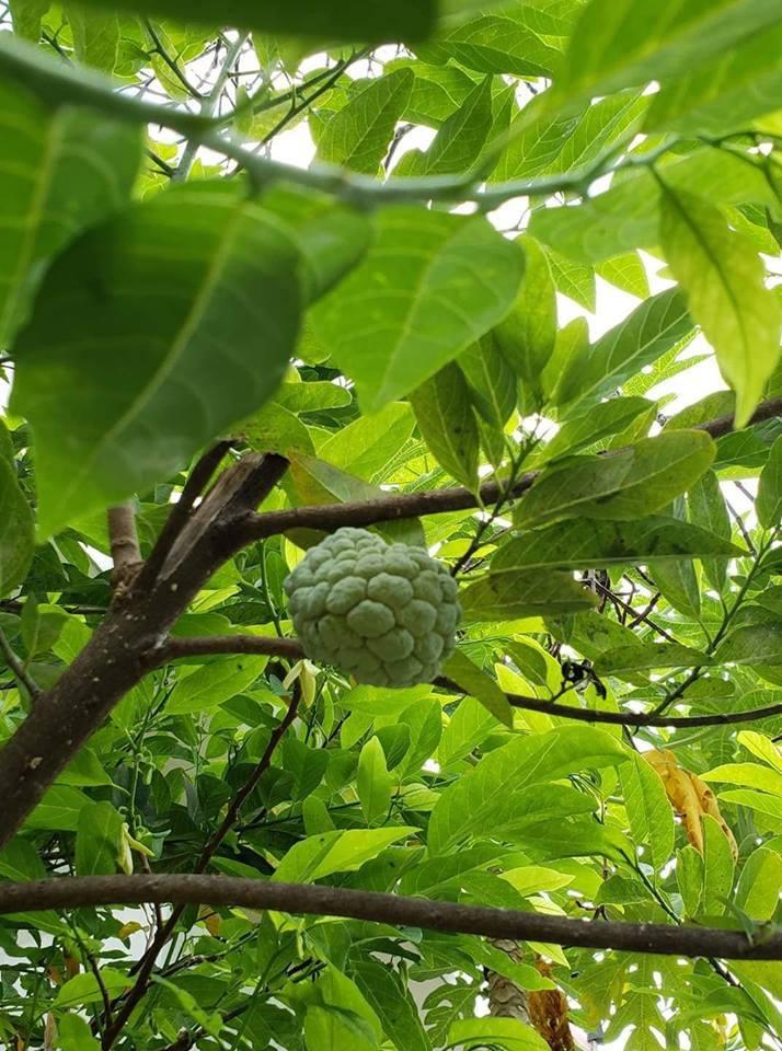 Đủ loại trái cây sạch được trồng trong khu nông trại xanh mát này.