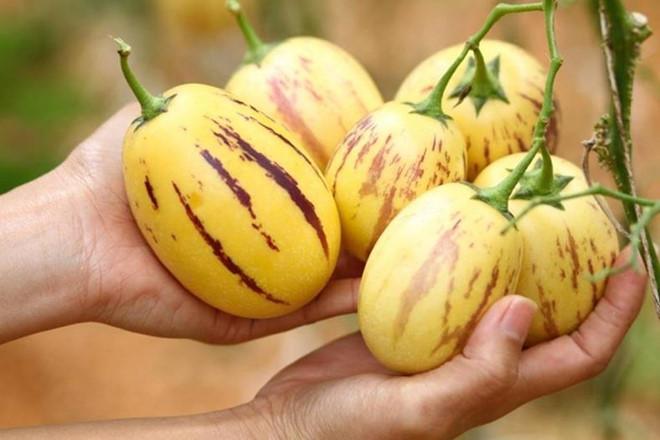 Dưa pepino - một trong những loại trái cây đã trở thành thương hiệu đặc sản của Đà Lạt.