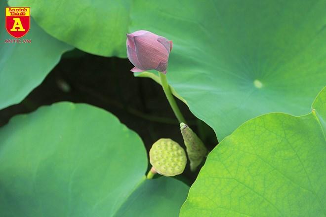 """Hương sắc và cả giá trị văn hóa """"gần bùn mà chẳng hôi tanh mùi bùn"""" khiến sen là loài hoa được muôn người yêu thích."""