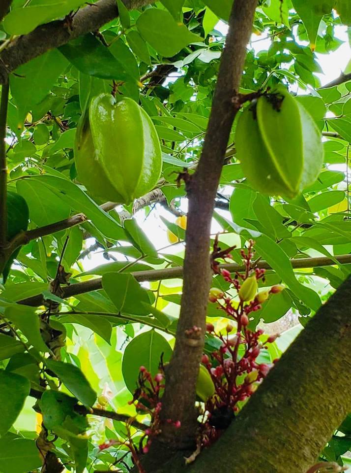 Bên cạnh những loại trái cây như na, mít, xoài, táo, mận... nữ diễn viên còn trồng cả na, khế trong khu vườn này.