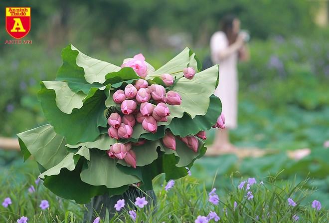 Những đóa sen còn thấm đẫm sương sớm được hái để phục vụ cho các nhóm chụp ảnh. Trung bình mỗi bó khoảng 10 bông có giá từ 40-50 nghìn đồng.