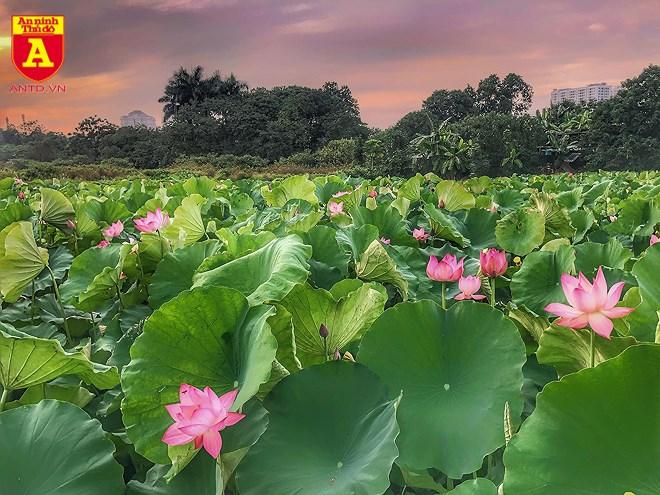 Tháng 6, những đầm sen ở Hà Nội bắt đầu nở rộ.