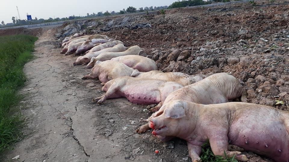Dịch tả lợn châu Phi xuất hiện gần 1 thế kỷ nay nhưng đến nay vẫn chưa có vắc xin phòng bệnh này