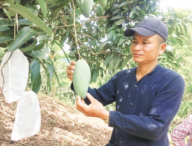 Sơn La đã đăng ký mã số vùng trồng cho nhiều diện tích xoài Yên Châu.