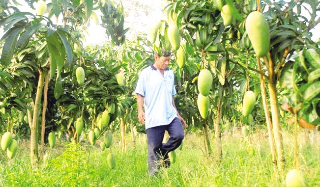 Hiện đã có quy định cụ thể về cấp mã số vùng trồng.