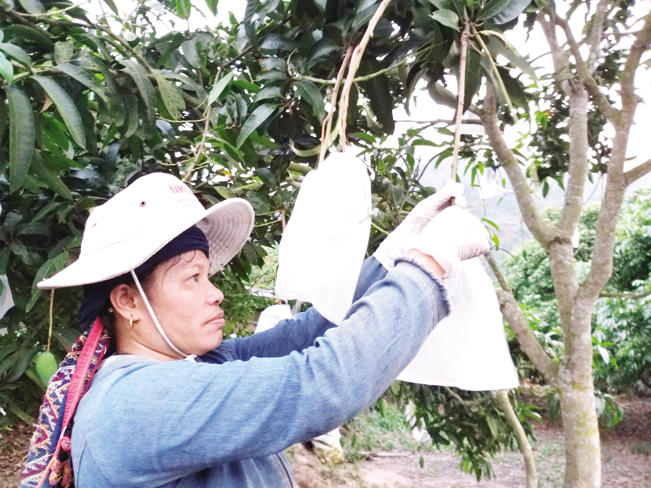 Nông dân vùng trồng xoài xuất khẩu tiến hành bao trái tại vườn ở huyện Yên Châu (Sơn La). Hải Đăng