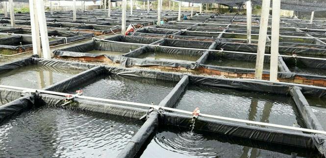 Lươn phân chia nuôi trong từng bể xi măng.