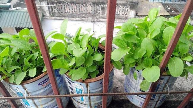 Vỏ lon không còn dùng tới cũng là một dụng cụ giúp bạn trồng rau sạch.