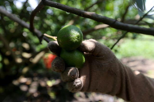 Loài chanh này có quả to và đạt số lượng trái nhiều hơn chanh thường, được thị trường ưa chuộng.