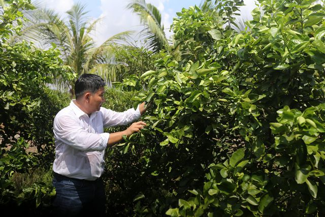 Năm 2012, ông Hiển bắt đầu trồng thử nghiệm giống chanh không hạt có nguồn gốc từ Mỹ.