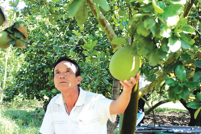 Nhờ trồng bưởi da xanh, mỗi năm lão nông Trần Văn Thiện thu lãi hơn 1 tỷ đồng/năm.