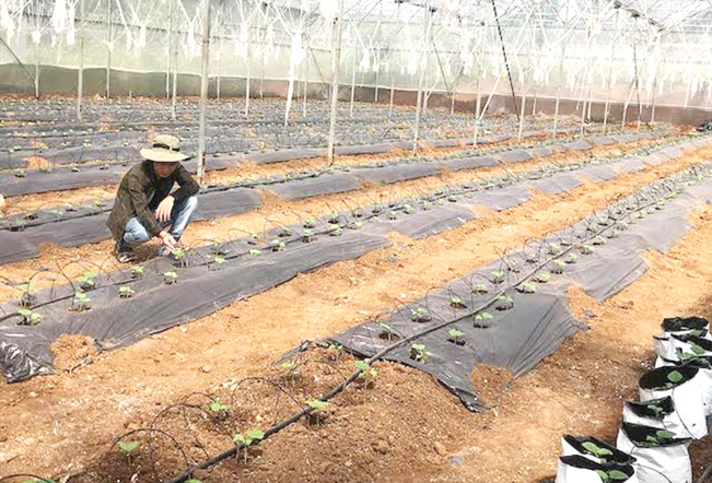 Đam mê với nông nghiệp, anh Hậu đã tự tìm tòi học hỏi, biến mảnh đất khô cằn sỏi đá thành một vườn dưa lưới trĩu quả.