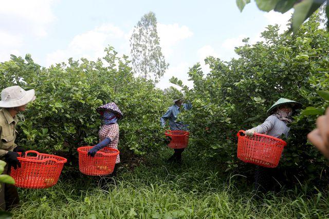 Từ vài mẫu đất dùng để trồng chanh, ông Hiển bắt đầu nhân rộng thành trang trại diện tích hơn 100 ha, với khoảng 35.000 gốc chanh.