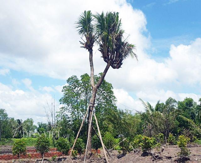 Cây dừa 14 đọt được anh Thái mua từ Kiên Giang về khoảng 1 tháng nay. Ảnh: CTV.