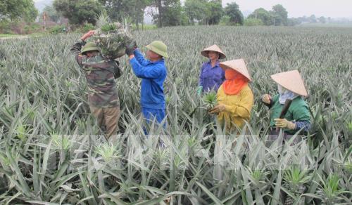 Nông dân thu hoạch dứa. Ảnh: Thùy Dung – TTXVN