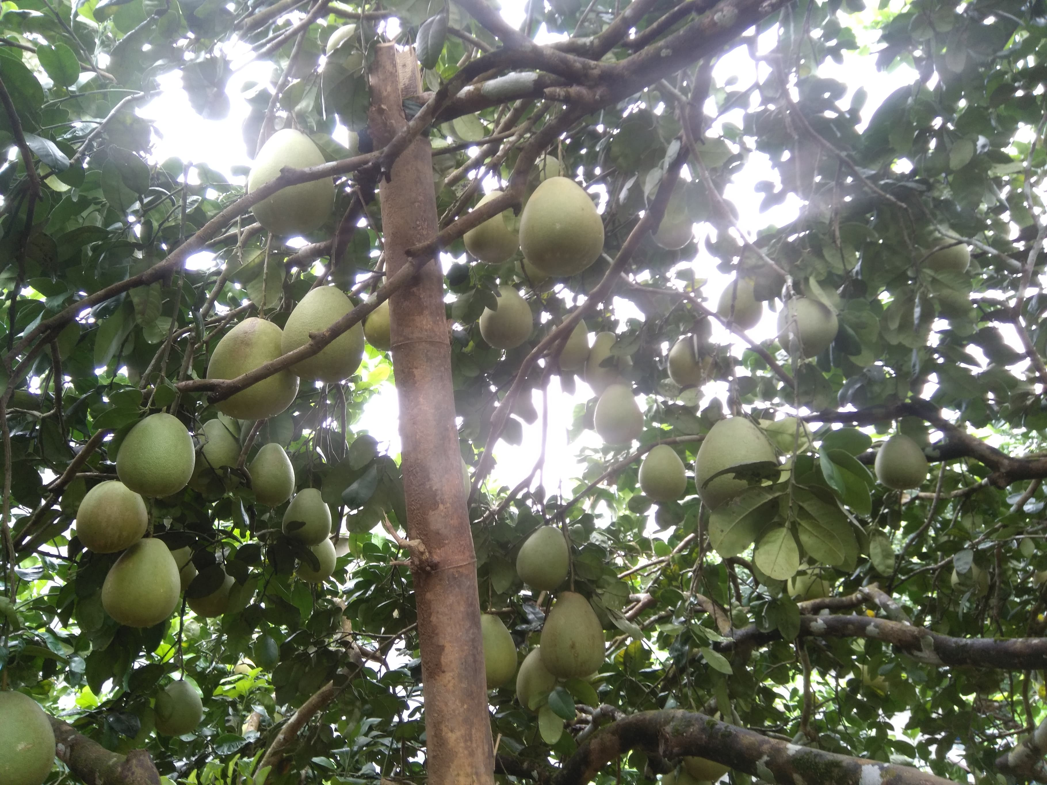 Bưởi da xanh ruột tím là giống bưởi đặc sản của Hòa Ninh, là loại cây ăn quả có giá trị kinh tế cao.
