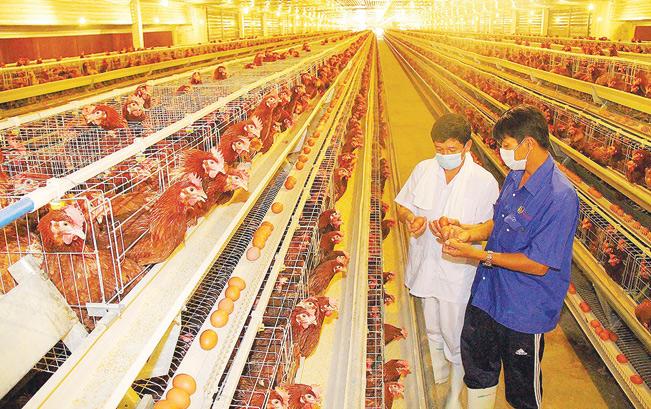 Nhiều trang trại ở Đồng Nai đẩy mạnh chăn nuôi gia cầm. T.L
