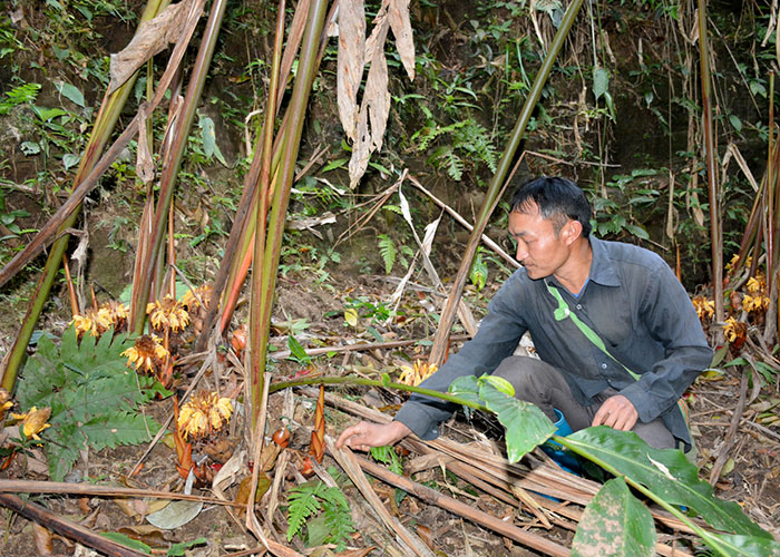 Thảo quả, một trong những loại cây xóa nghèo, nhanh và hiệu quả của người dân vùng cao Tuần Giáo