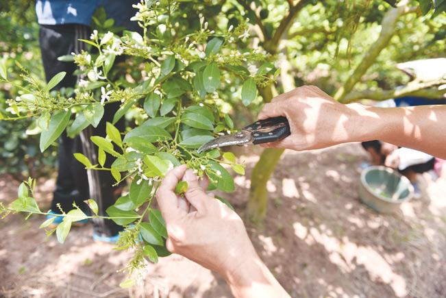 Anh Hà còn tạo dáng bonsai cho chanh.