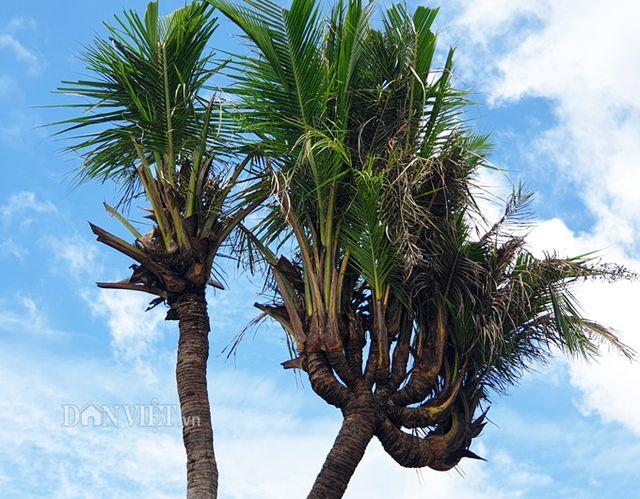 Mỗi ngày anh tưới nước 2 lần, cây dừa bén rễ rất tốt. Cây dừa 14 đọt đang phát triển tốt và đang trổ hoa. Ảnh: CTV.