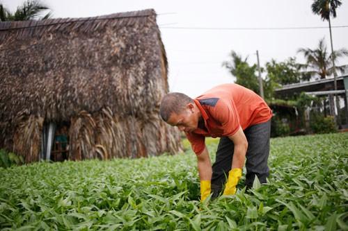 Gia đình anh Đồng Văn Đông sống bằng nghề trồng rau muống trên đất thuê. Trước đây, diện tích đất thuê rất nhiều nhưng nay chủ đã lấy lại bớt để bán. Ảnh: Như Phú