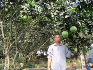 Hiện toàn xã Hòa Ninh có hơn 150 hộ trồng bưởi da xanh, với diện tích hơn 40ha