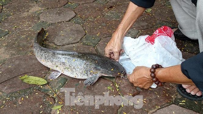 Cá trê có cân nặng khoảng 4kg do 1 cần thủ câu được vào buổi sáng nay (5/8).