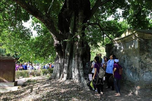 Du khách tham quan Cây thị di sản ở làng cổ Phước Tích với tuổi thọ đã trên 500 năm, là một trong 5 cây cổ thụ ở Thừa Thiên Huế đã được công nhận là cây di sản Việt Nam. (Ảnh: Hồ Cầu-TTXVN)