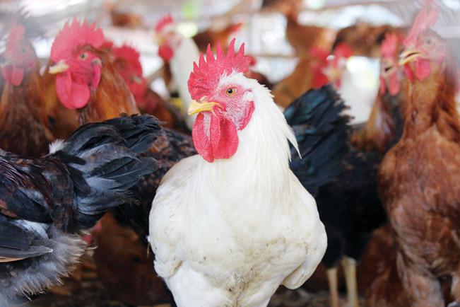 Người chăn nuôi cần tích cực triển khai nhiều biện pháp phòng, chống dịch bệnh gia cầm.