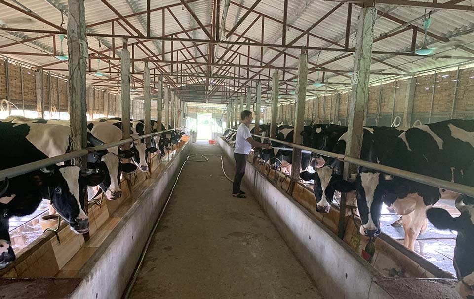 Có tới 1.200 hộ dân ở Vĩnh Thịnh nuôi bò sữa, với những trang trại lớn nuôi tới vài chục con.