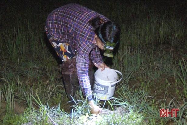 Trên cả những mảnh ruộng đã thu hoạch cũng có thể đặt bẫy để bắt cáy.