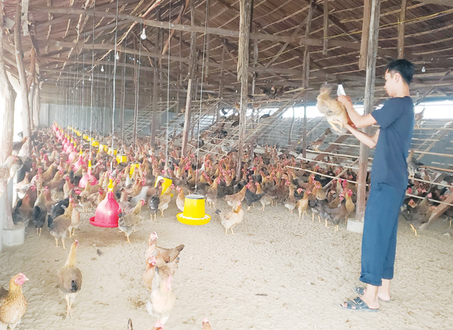 Nuôi gà hữu cơ tại trang trại.
